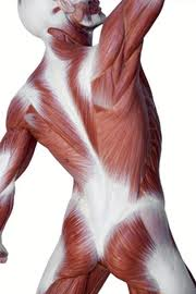 fascial system shown stretched